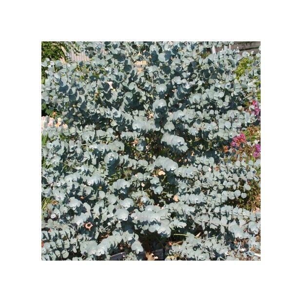 eucalyptus 39 azura 39 plantes et jardins. Black Bedroom Furniture Sets. Home Design Ideas