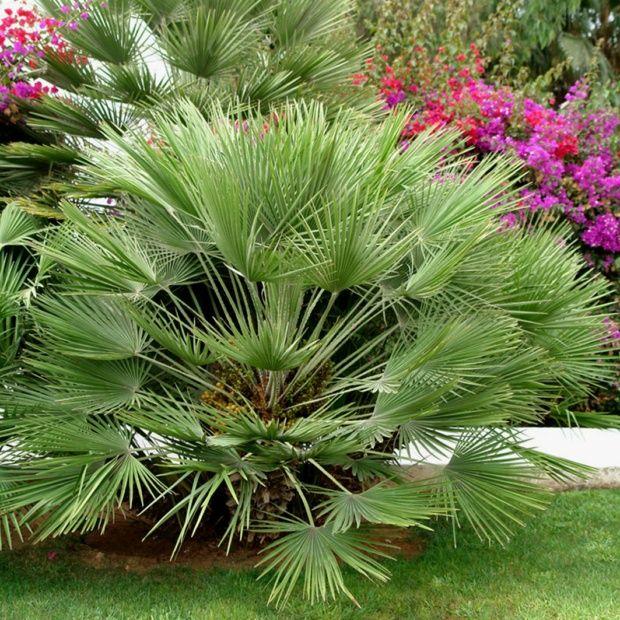 Palmier nain plantes et jardins for Plantes et jardins adresse