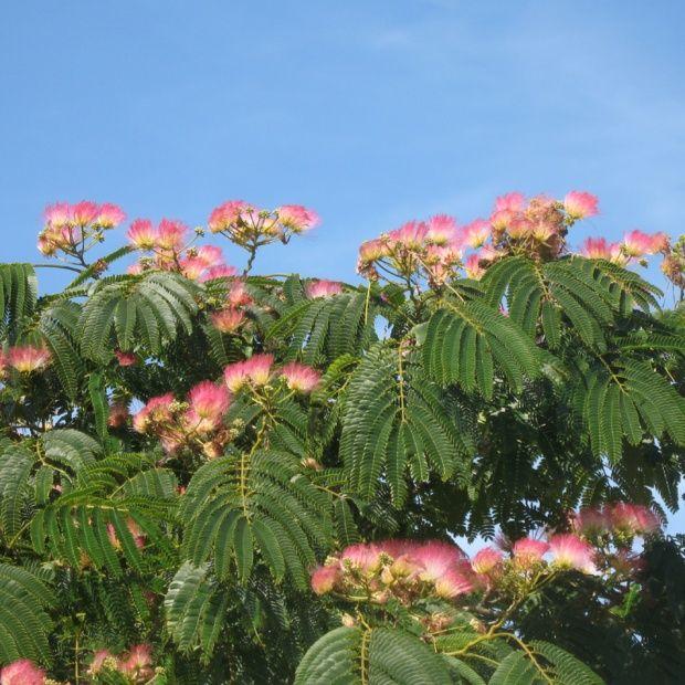 Arbre soie 39 rouge de tuili re 39 plantes et jardins - Arbres a fleurs rouges ...