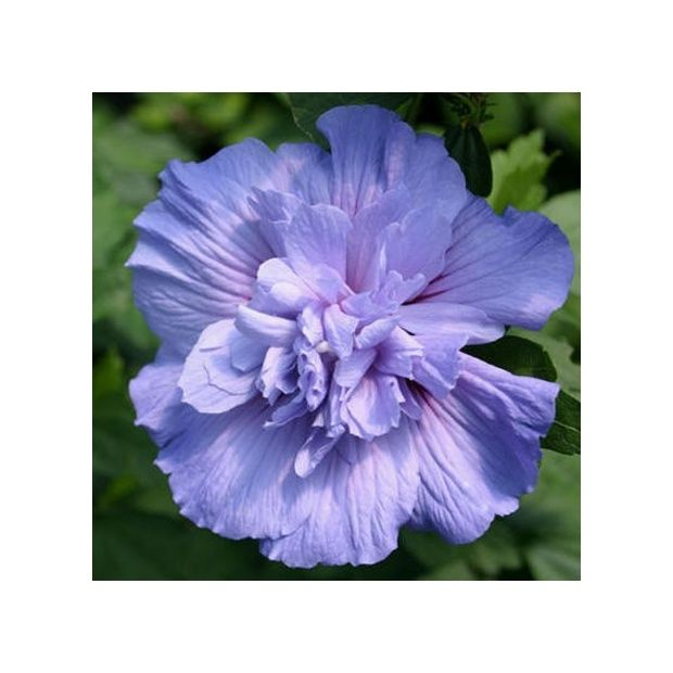 Hibiscus syriacus \'Blue chiffon\' - Plantes et Jardins