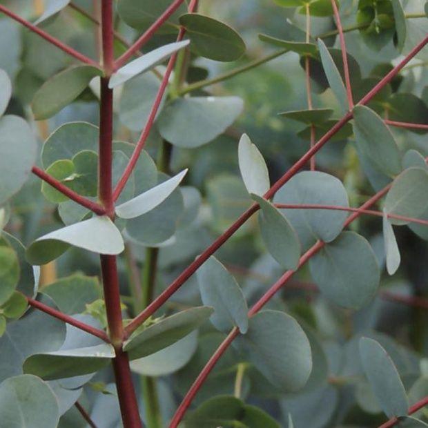 eucalyptus dalrympleana plantes et jardins. Black Bedroom Furniture Sets. Home Design Ideas