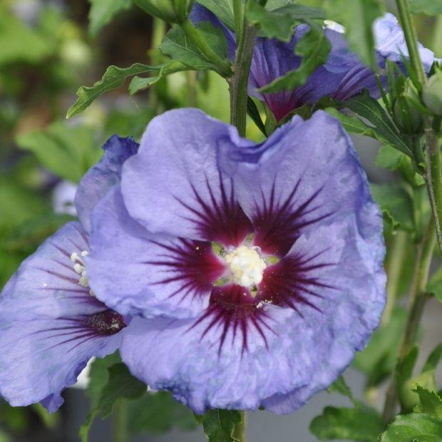 hibiscus syriacus 39 ultramarine 39 plantes et jardins. Black Bedroom Furniture Sets. Home Design Ideas