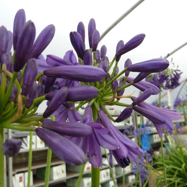 agapanthe 39 purple delight 39 plantes et jardins. Black Bedroom Furniture Sets. Home Design Ideas