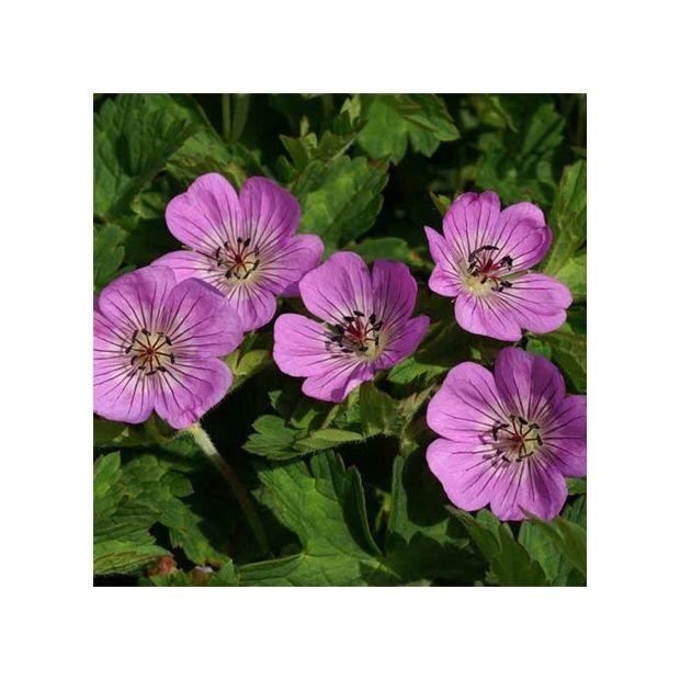 G ranium vivace 39 silvia 39 s surprise 39 le lot de 3 godets for Cerisier nain garden bing
