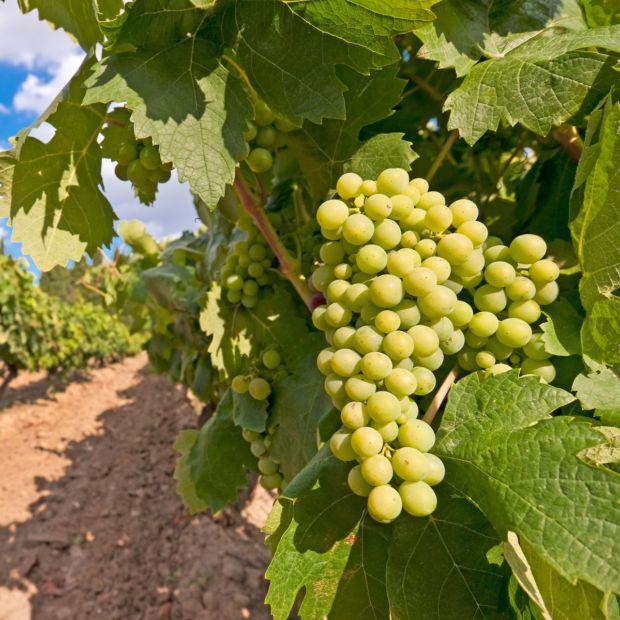 Vigne 39 chasselas dor 39 plantes et jardins - Parasite de la vigne ...