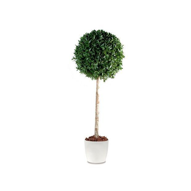 Laurier boule tige h150cm tronc naturel feuillage - Laurier tige en pot ...