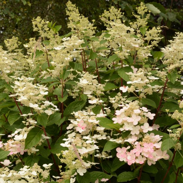 hortensia paniculata 39 early sensation 39 plantes et jardins. Black Bedroom Furniture Sets. Home Design Ideas