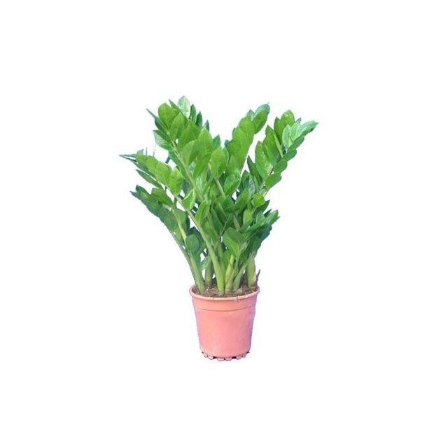 Zamioculcas 95cm plantes et jardins for Zamioculcas exterieur