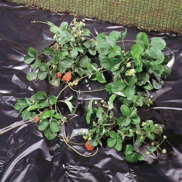 paillage fraise 1 4x10m gamm vert plantes et jardins. Black Bedroom Furniture Sets. Home Design Ideas