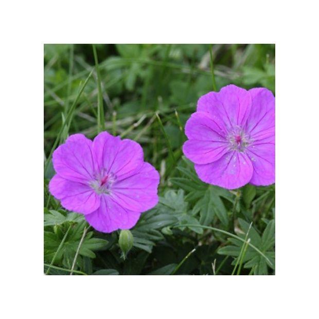 G ranium vivace sanguineum violine plantes et jardins for Geranium d interieur