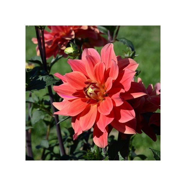 Dahlia buisson 39 marrakech 39 lot de 3 plantes et jardins for Buisson synthetique