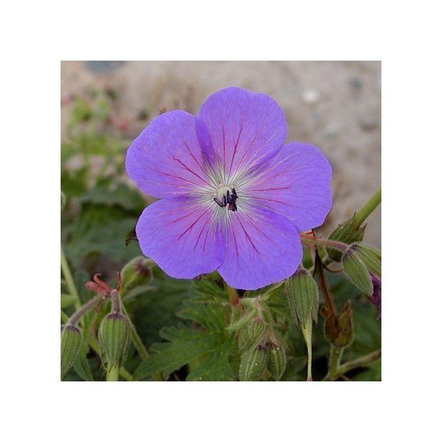 G ranium vivace de l 39 himalaya plantes et jardins for Geranium d interieur