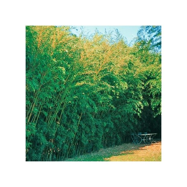 bambou moyen phyllostachys humilis plantes et jardins. Black Bedroom Furniture Sets. Home Design Ideas