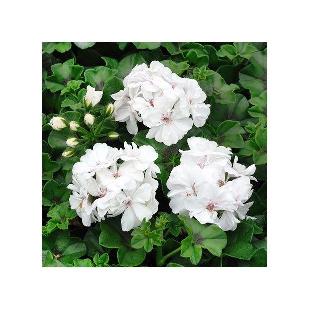 G ranium lierre double blanc le lot de 12 plantes et - Geranium lierre double ...