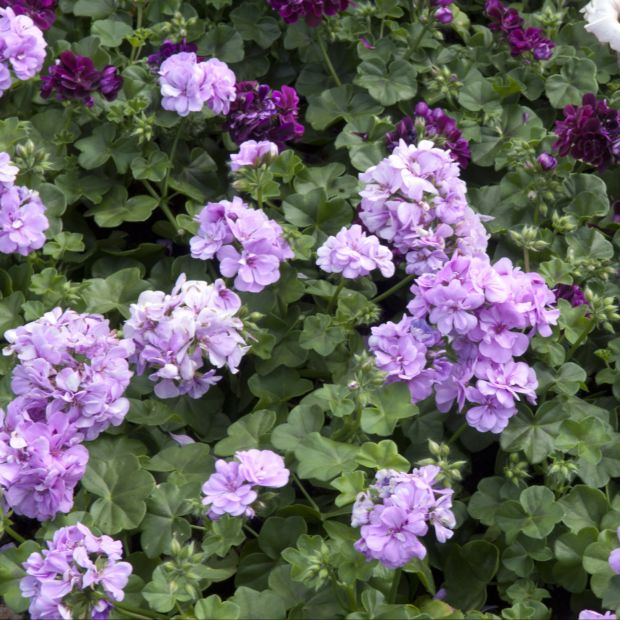 Geranium lierre double mauve plantes et jardins - Geranium lierre double retombant ...