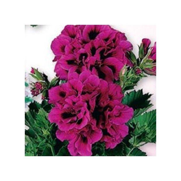 Lot de 3 p largoniums 39 chouchou d 39 antan 39 violet for Cerisier nain garden bing