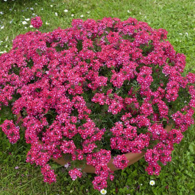 verveine cascade rose vif plantes et jardins. Black Bedroom Furniture Sets. Home Design Ideas