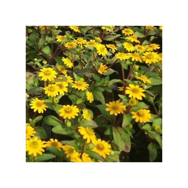Sanvitalia 39 million suns 39 plantes et jardins for Cerisier nain garden bing