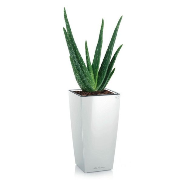 aloe vera rempot dans pot lechuza maxi cubi blanc plantes et jardins. Black Bedroom Furniture Sets. Home Design Ideas