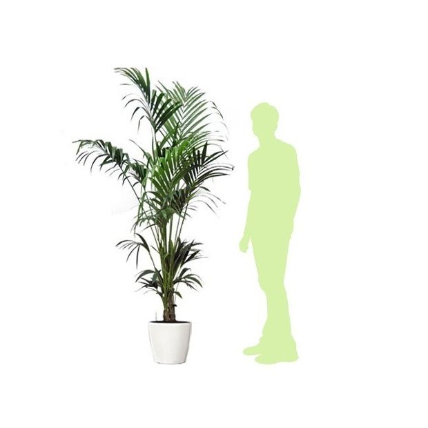 kentia rempot dans pot lechuza classico blanc plantes et jardins. Black Bedroom Furniture Sets. Home Design Ideas