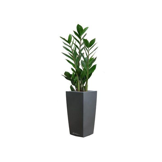 Zamioculcas rempot dans pot lechuza anthracite plantes for Zamioculcas exterieur