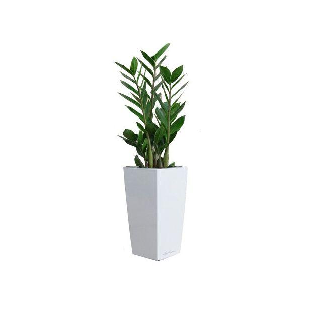 Zamioculcas rempot dans pot lechuza blanc plantes et for Zamioculcas exterieur