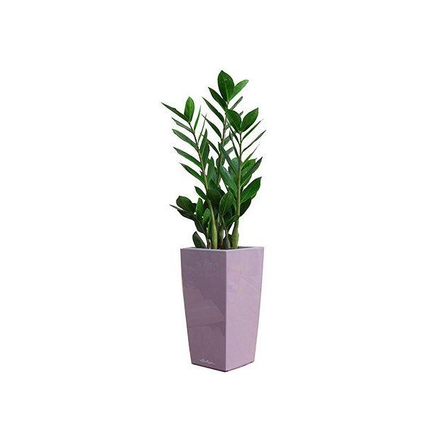 Zamioculcas rempot dans pot lechuza mauve plantes et for Zamioculcas exterieur