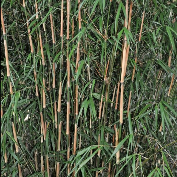 bambou non tra ant fargesia 39 asian wonder 39 plantes et jardins. Black Bedroom Furniture Sets. Home Design Ideas