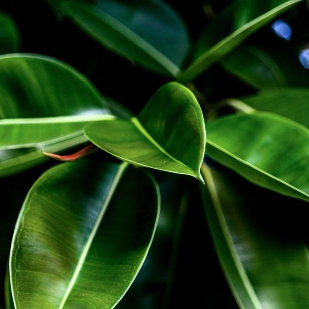 Ficus caoutchouc 39 decorea 39 hauteur 55cm plantes et jardins for Caoutchouc plante exterieur