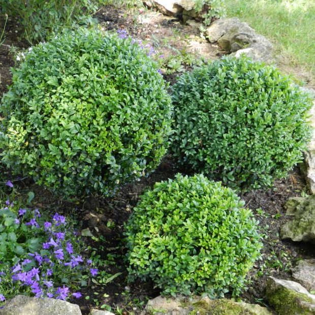 buis boule petites feuilles 39 faulkner 39 plantes et jardins. Black Bedroom Furniture Sets. Home Design Ideas