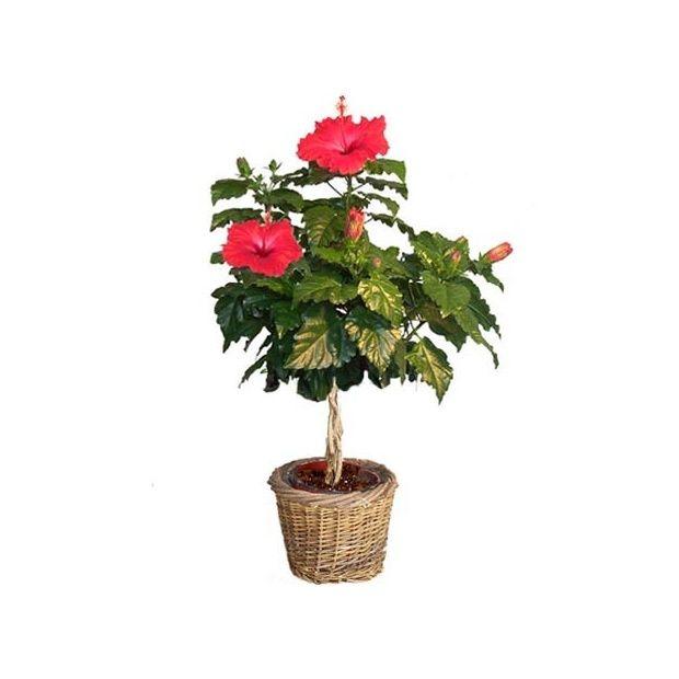 Hibiscus tige rouge cache pot livraison express - Hibiscus exterieur en pot ...