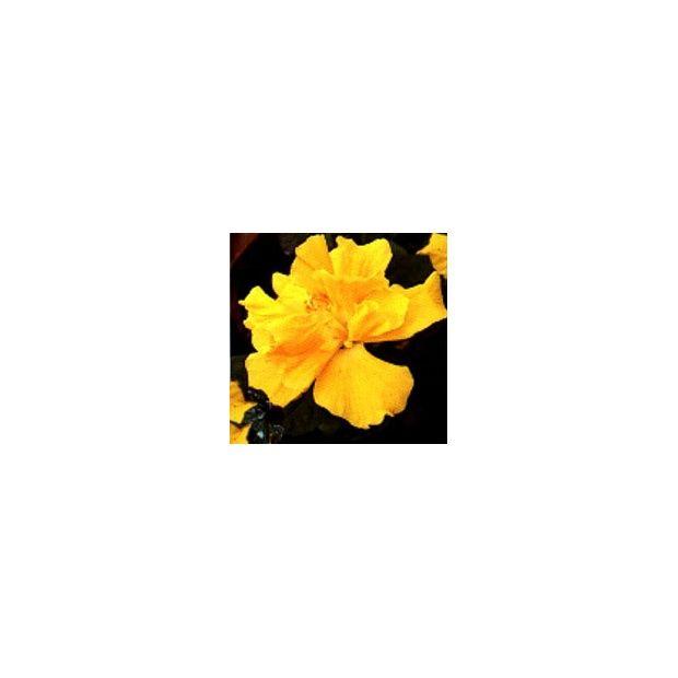 Hibiscus rose de Chine jaune - Plantes et Jardins