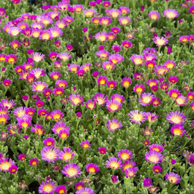 Pourpier vivace wow 39 wheels of wonder 39 vari s plantes et jardins - Pourpier vivace en jardiniere ...