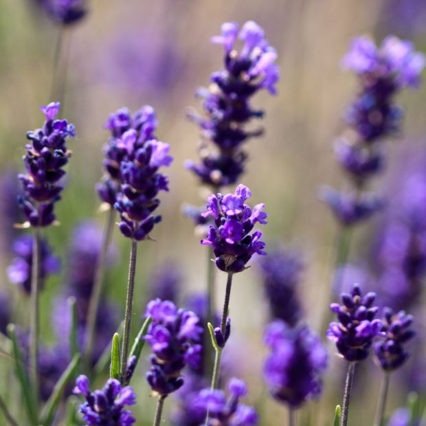 Lavande officinale plantes et jardins for Plante exterieur plumeau