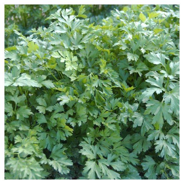 Persil plat simple plantes et jardins for Entretien persil jardin