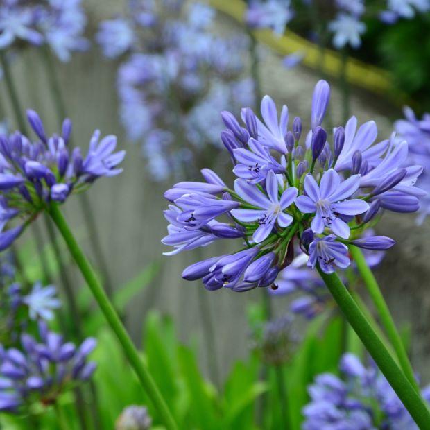 agapanthe bleue pitchoune plantes et jardins. Black Bedroom Furniture Sets. Home Design Ideas