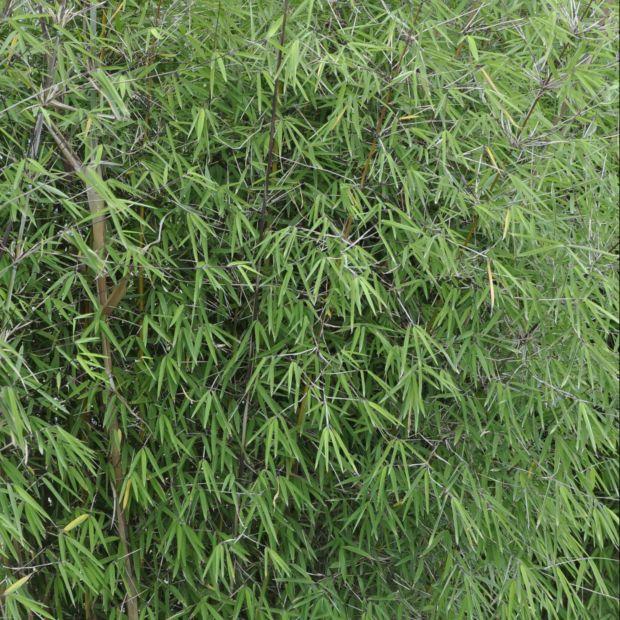 bambou non tra ant fargesia 39 angustissima 39 plantes et jardins. Black Bedroom Furniture Sets. Home Design Ideas