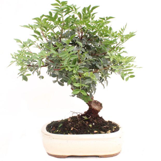 Bonsa d 39 ext rieur pistachier 10 ans bo te cadeau for Les plantes exterieur