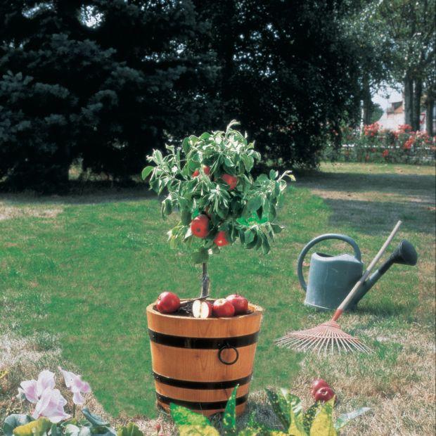 pommier nain croquella plantes et jardins. Black Bedroom Furniture Sets. Home Design Ideas