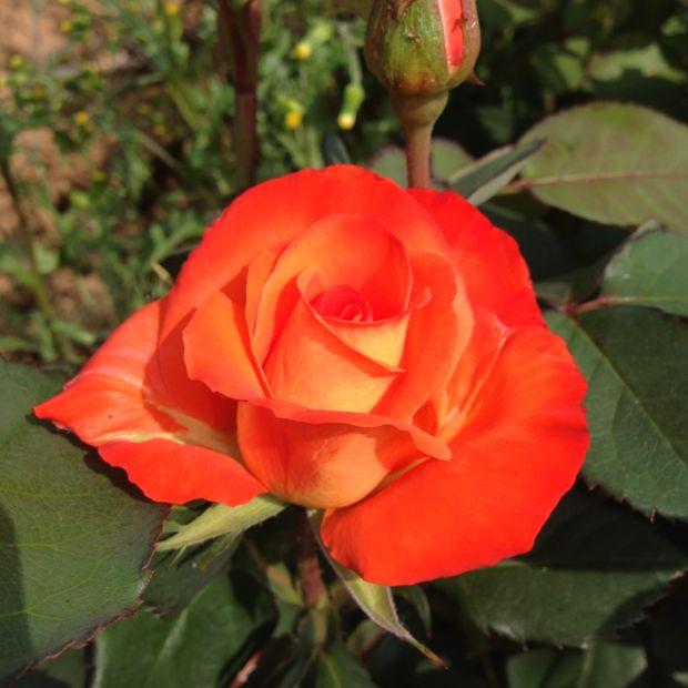 Rosier france libre deljaunor rosier georges delbard for Rosier jardin de france