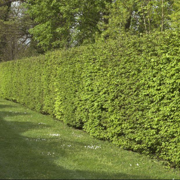 kit de haie charmille haie de charme commun pour 10m plantes et jardins. Black Bedroom Furniture Sets. Home Design Ideas