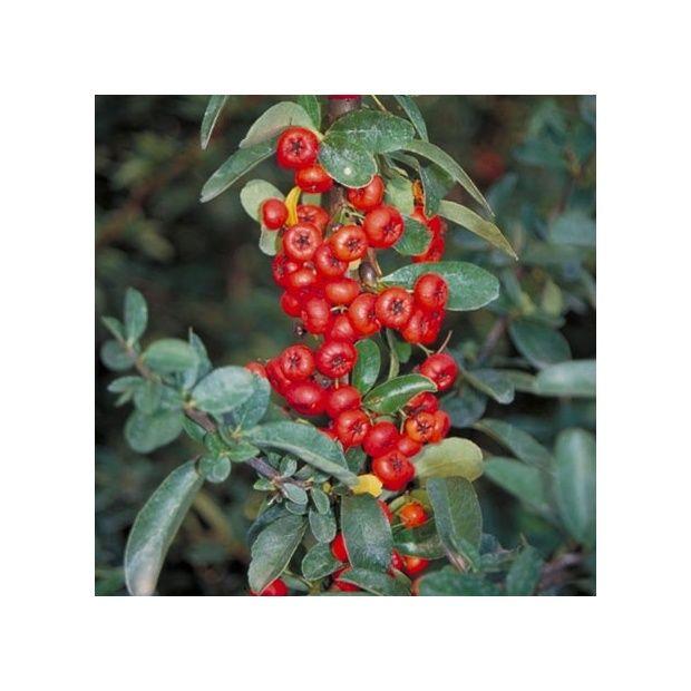 Buisson ardent 39 saphyr rouge 39 cadrou plantes et jardins for Buisson synthetique