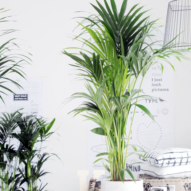 Kentia 180 200 cm plantes et jardins for Plante verte haute exterieur