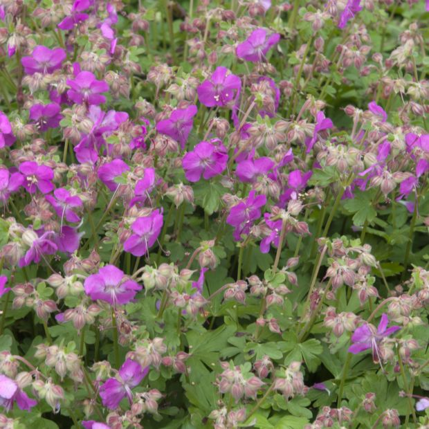 Géranium vivace cantabrigiense crystal rose  Plantes et Jardins