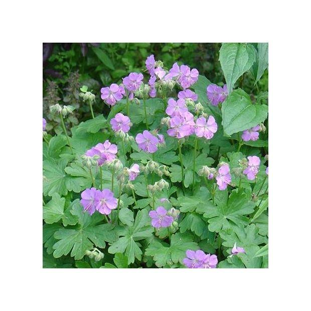 G ranium vivace cantabrigiense plantes et jardins for Geranium d interieur