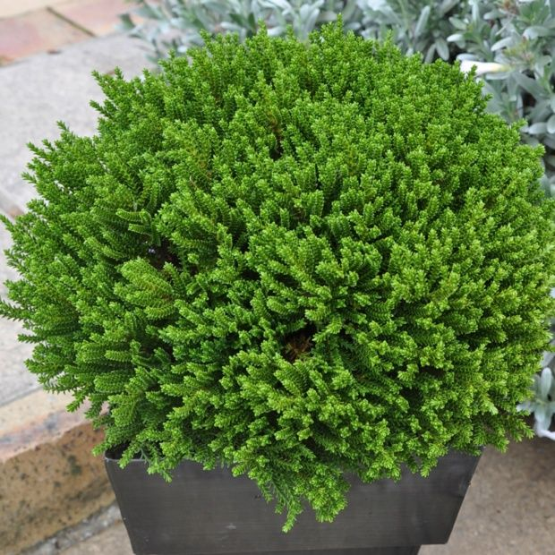 V ronique arbustive 39 green globe 39 plantes et jardins for Plante arbustive fleurie