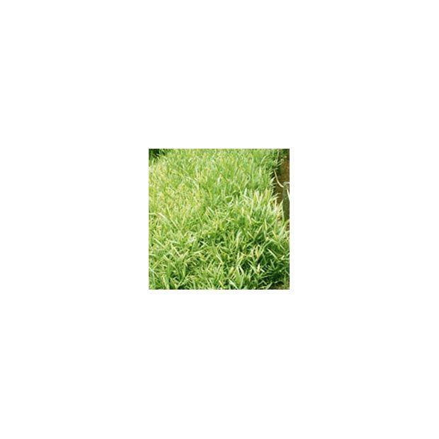 bambou nain pleioblastus viridistriatus 39 vagans 39 plantes et jardins. Black Bedroom Furniture Sets. Home Design Ideas