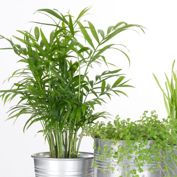 palmier nain chamaedora plantes et jardins. Black Bedroom Furniture Sets. Home Design Ideas
