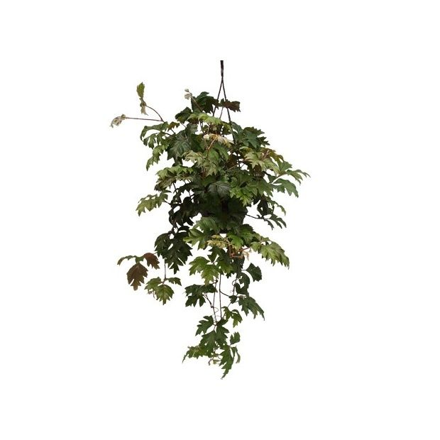 rhoicissus plantes et jardins. Black Bedroom Furniture Sets. Home Design Ideas
