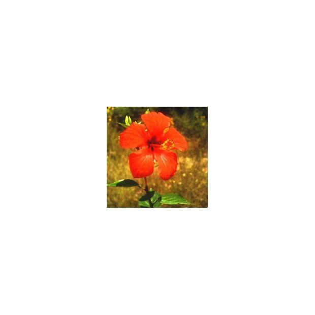 Hibiscus rose de chine 39 rouge 39 plantes et jardins for Hibiscus exterieur rouge